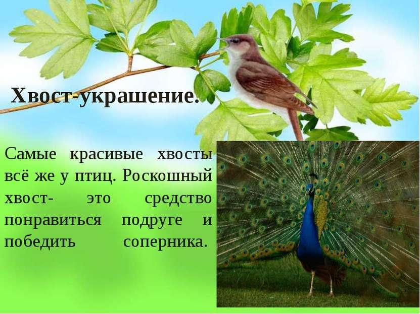 Хвост-украшение. Самые красивые хвосты всё же у птиц. Роскошный хвост- это с...