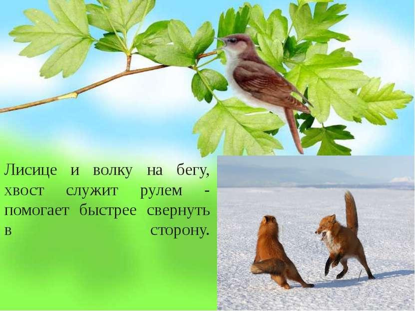 Лисице и волку на бегу, хвост служит рулем - помогает быстрее свернуть в стор...