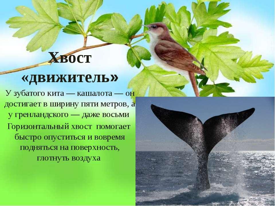 Хвост «движитель» У зубатого кита — кашалота — он достигает в ширину пяти мет...