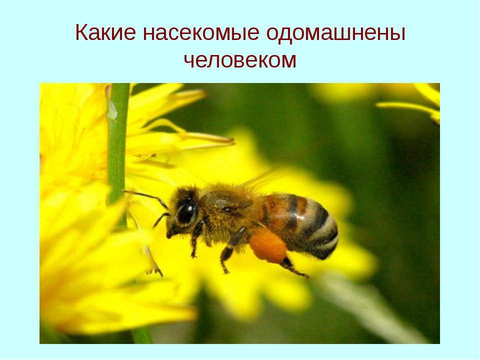 Какие насекомые одомашнены человеком