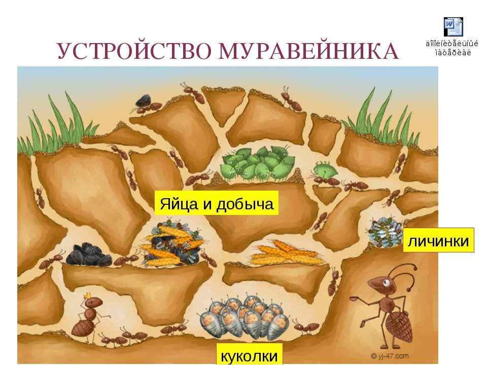 УСТРОЙСТВО МУРАВЕЙНИКА куколки личинки Яйца и добыча