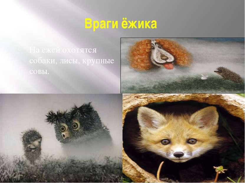 Враги ёжика На ежей охотятся собаки, лисы, крупные совы.