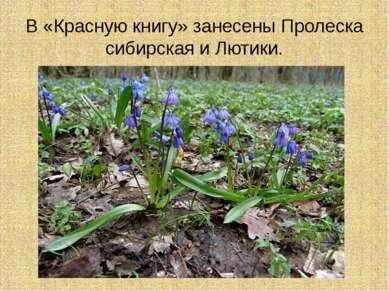 В «Красную книгу» занесены Пролеска сибирская и Лютики.