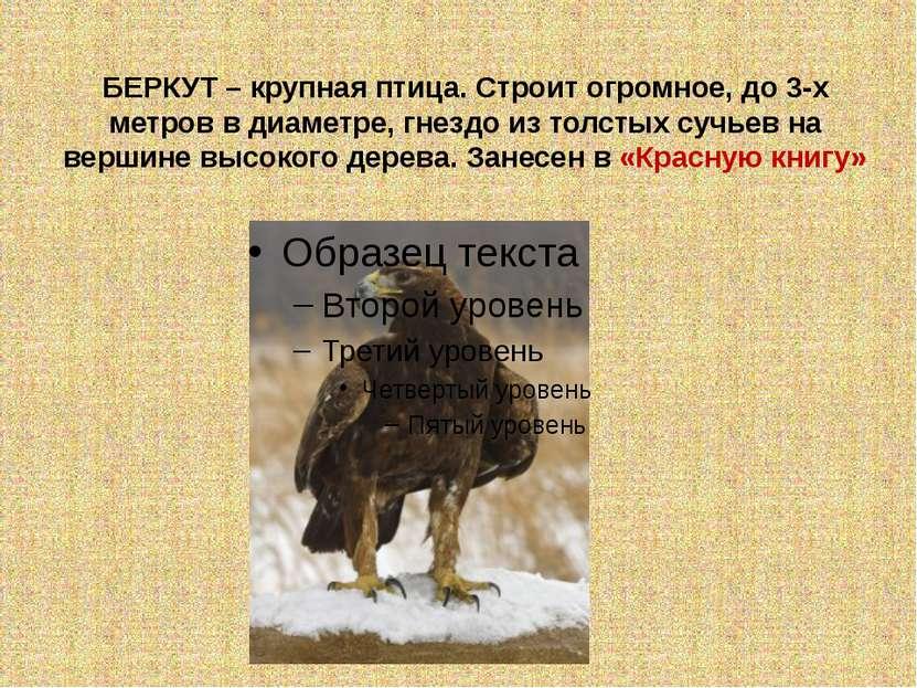 БЕРКУТ – крупная птица. Строит огромное, до 3-х метров в диаметре, гнездо из ...