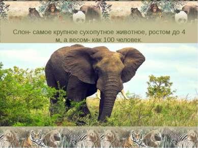 Слон- самое крупное сухопутное животное, ростом до 4 м, а весом- как 100 чело...
