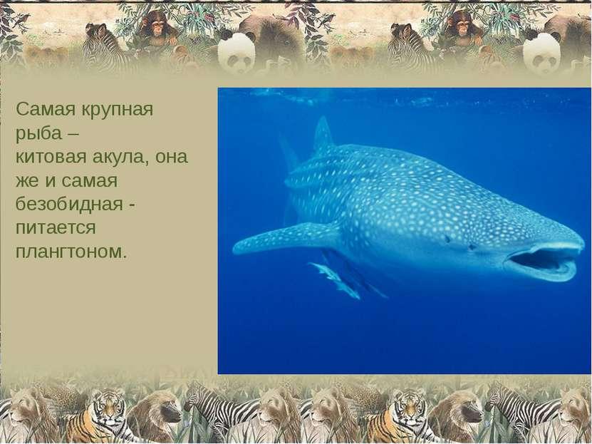 Самая крупная рыба – китовая акула, она же и самая безобидная - питается план...