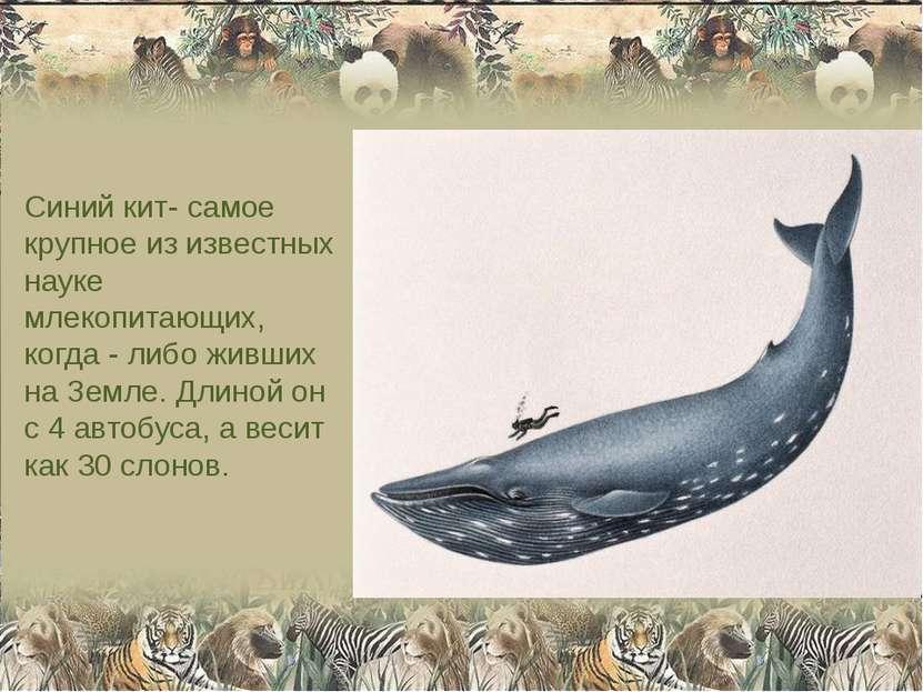 Синий кит- самое крупное из известных науке млекопитающих, когда - либо живши...