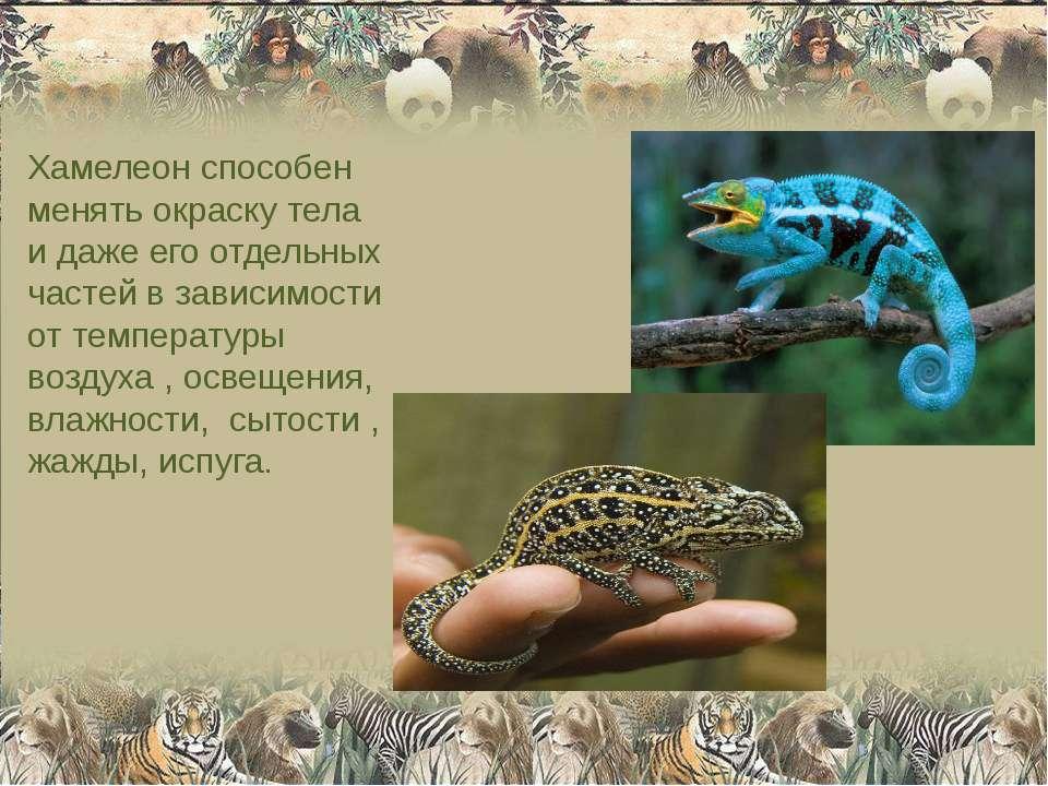 Хамелеон способен менять окраску тела и даже его отдельных частей в зависимос...