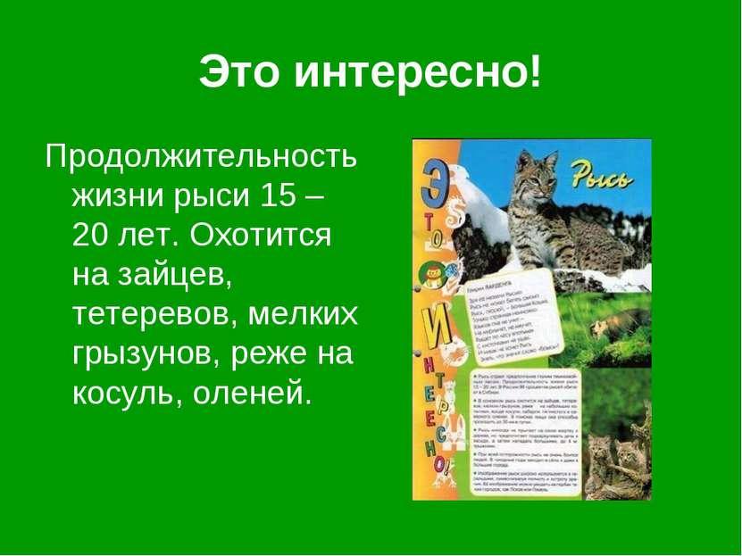 Это интересно! Продолжительность жизни рыси 15 – 20 лет. Охотится на зайцев, ...