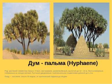Дум - пальма (Hyphaene) Род растений семейства пальм. Ствол, как правило, раз...