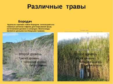 Различные травы Бородач Крупные и крепкие стебли бородача используются в сава...
