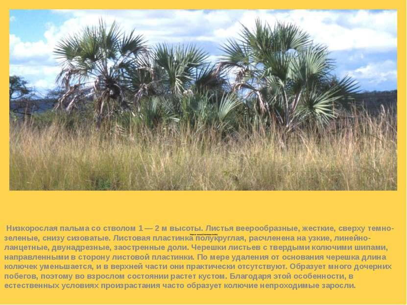 Веерная пальма (Chamaerops humilis)  Низкорослая пальма со стволом 1 — 2 м в...