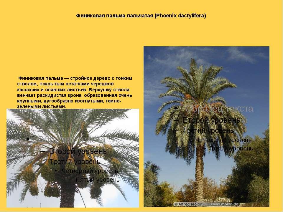 Финиковая пальма пальчатая (Phoenix dactylifera) Финиковая пальма — стройное ...