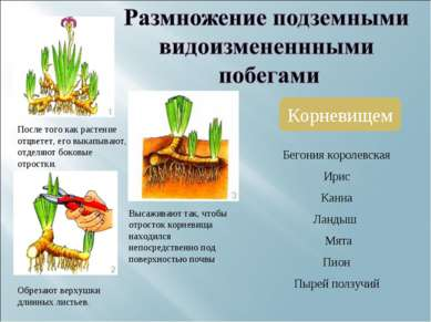 Корневищем После того как растение отцветет, его выкапывают, отделяют боковые...