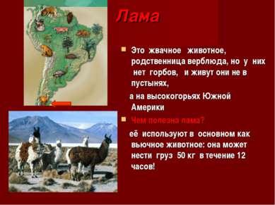 Лама Это жвачное животное, родственница верблюда, но у них нет горбов, и живу...
