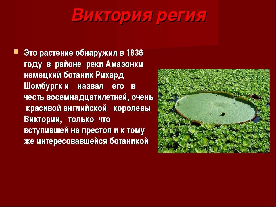 Виктория регия Это растение обнаружил в 1836 году в районе реки Амазонки неме...