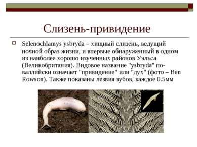 Слизень-привидение Selenochlamys ysbryda – хищный слизень, ведущий ночной обр...