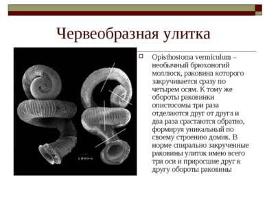 Червеобразная улитка Opisthostoma vermiculum – необычный брюхоногий моллюск, ...