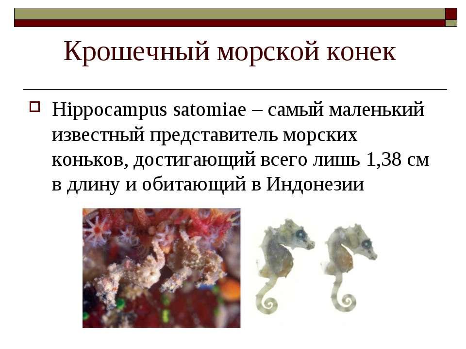 Крошечный морской конек Hippocampus satomiae – самый маленький известный пред...