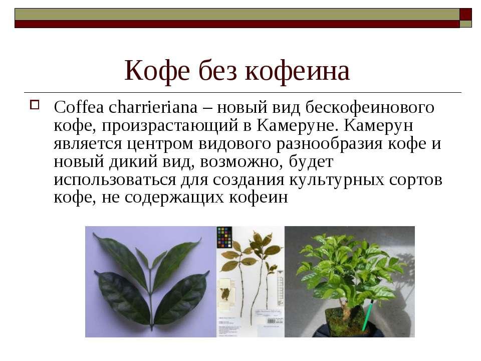 Кофе без кофеина Coffea charrieriana – новый вид бескофеинового кофе, произра...