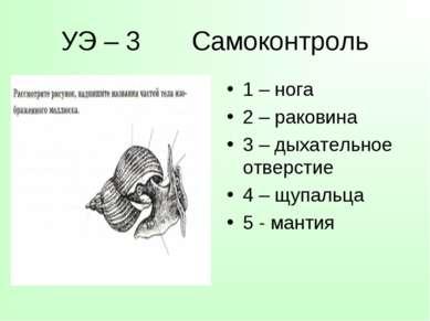 УЭ – 3 Самоконтроль 1 – нога 2 – раковина 3 – дыхательное отверстие 4 – щупал...