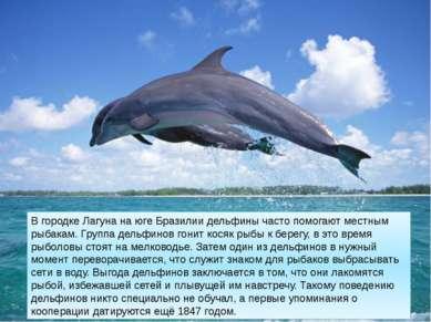 В городке Лагуна на юге Бразилии дельфины часто помогают местным рыбакам. Гру...