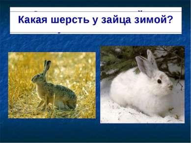 Зимняя шерсть у зайца густая и тёплая. Какая шерсть у зайца зимой?