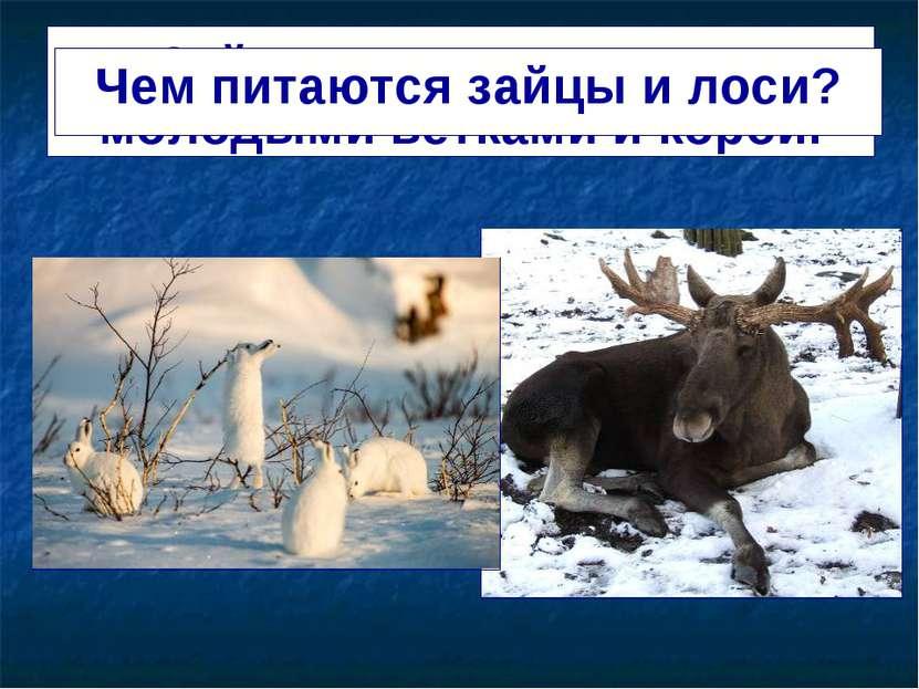 Зайцы и лоси питаются молодыми ветками и корой. Чем питаются зайцы и лоси?
