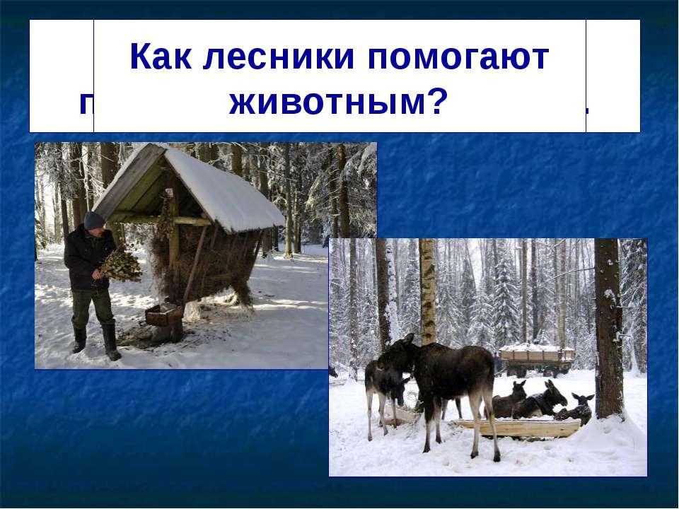 Лесники и охотники подкармливают животных. Как лесники помогают животным?