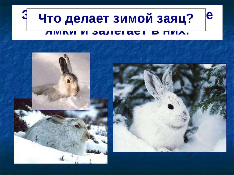 Заяц делает в снегу глубокие ямки и залегает в них. Что делает зимой заяц?
