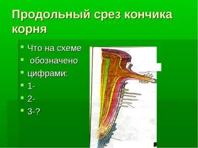Продольный срез кончика корня Что на схеме обозначено цифрами: 1- 2- 3-?