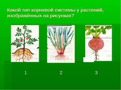 Какой тип корневой системы у растений, изображённых на рисунках?