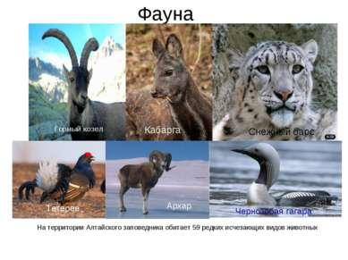 Фауна На территории Алтайского заповедника обитает 59 редких исчезающих видов...