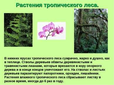 Растения тропического леса. В нижних ярусах тропического леса сумрачно, жарко...