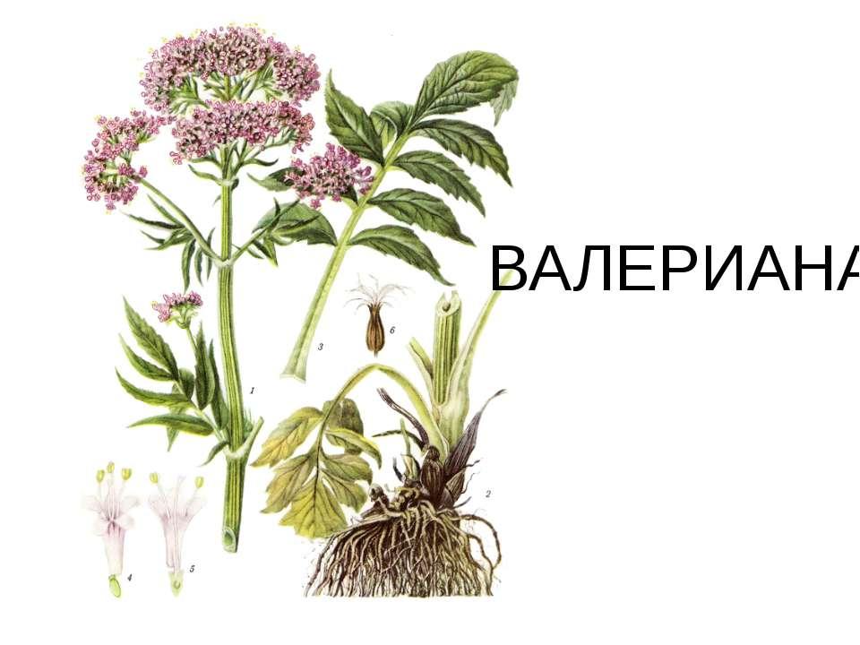 ВАЛЕРИАНА
