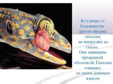 В отличие от большинства других ящериц гекконы не имеют век на глазах. Они за...