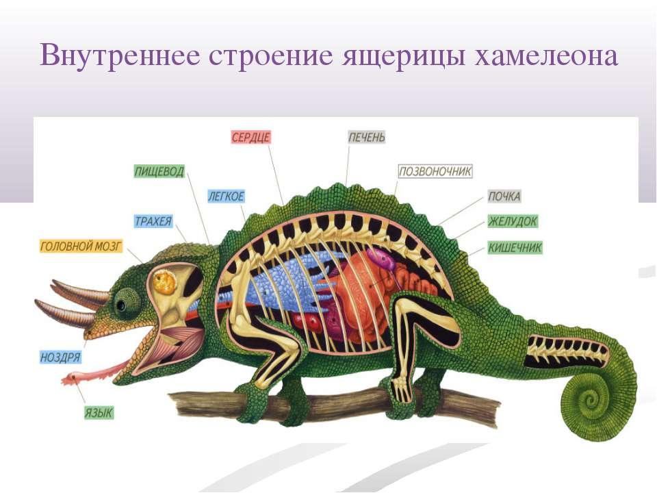 Внутреннее строение ящерицы хамелеона
