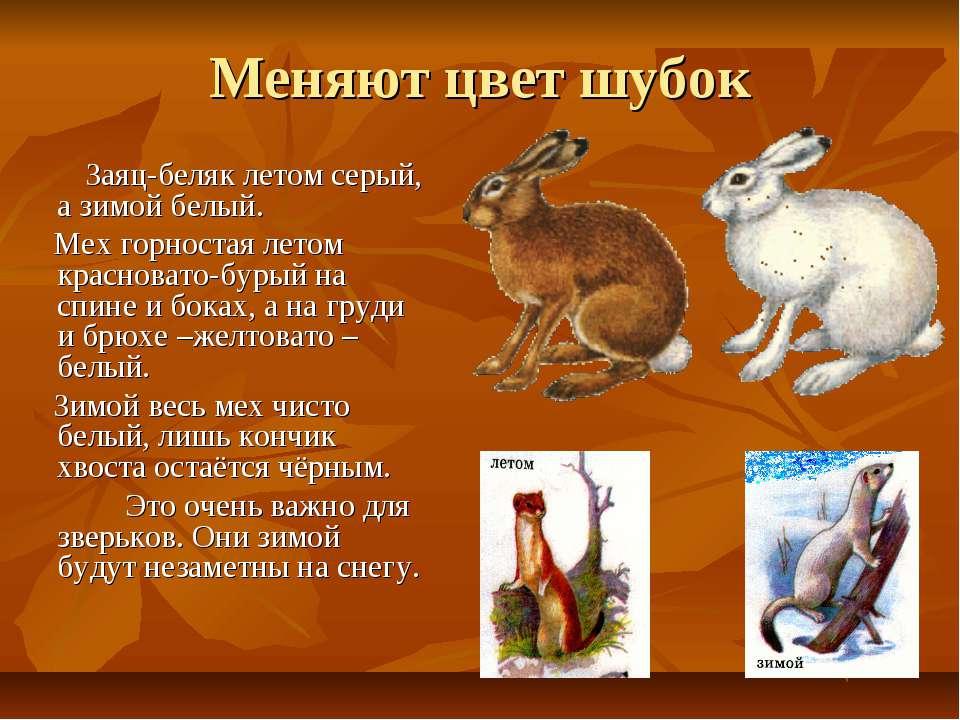Меняют цвет шубок Заяц-беляк летом серый, а зимой белый. Мех горностая летом ...