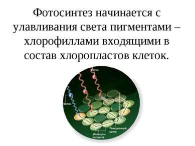 Фотосинтез начинается с улавливания света пигментами –хлорофиллами входящими ...