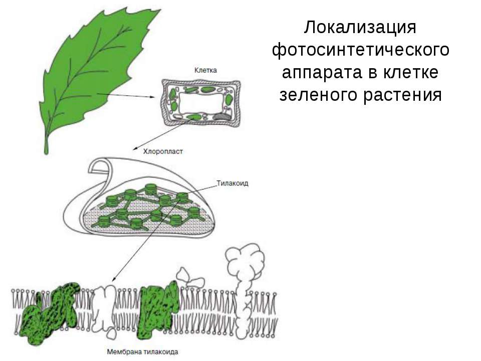 Локализация фотосинтетического аппарата в клетке зеленого растения