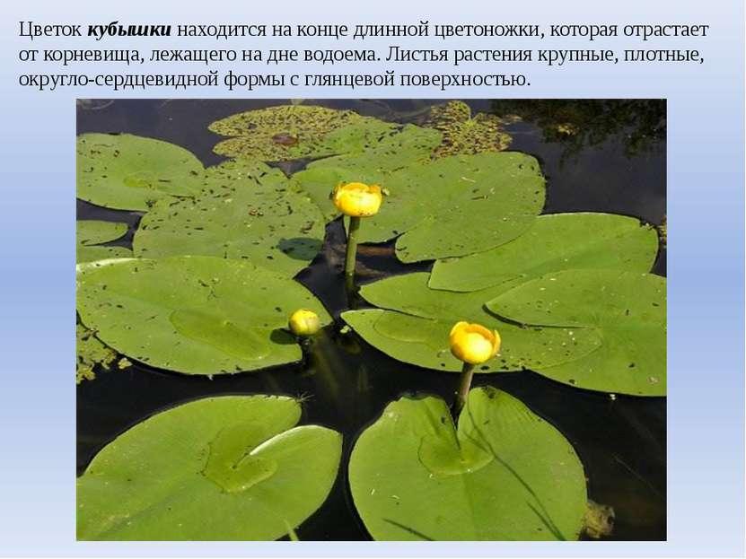 Цветок кубышки находится на конце длинной цветоножки, которая отрастает от ко...
