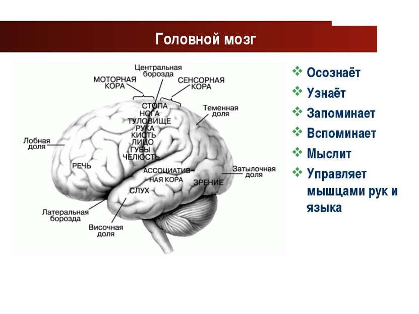 www.themegallery.com Company Logo Головной мозг Осознаёт Узнаёт Запоминает Вс...