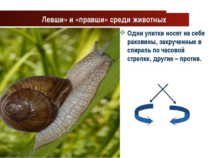 www.themegallery.com Company Logo Левши» и «правши» среди животных Одни улитк...