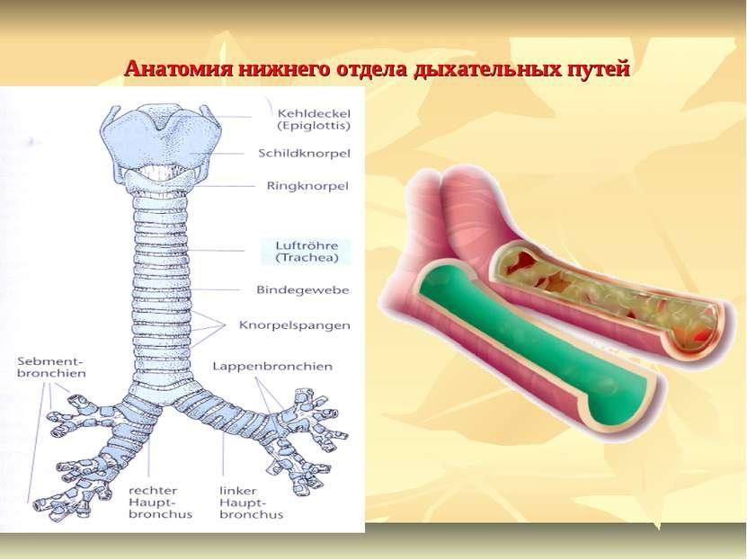 Анатомия нижнего отдела дыхательных путей