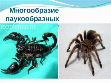 Многообразие паукообразных Скарпион