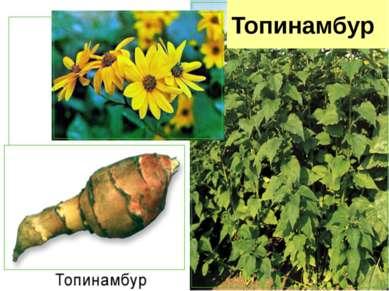 Топинамбур