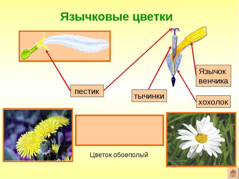 Язычковые цветки Формула цветка: ^Ч0Л(5)Т(5)П1 пестик Язычок венчика Цветок о...