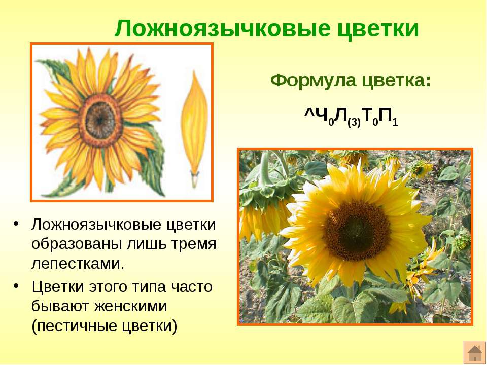 Ложноязычковые цветки Формула цветка: ^Ч0Л(3)Т0П1 Ложноязычковые цветки образ...