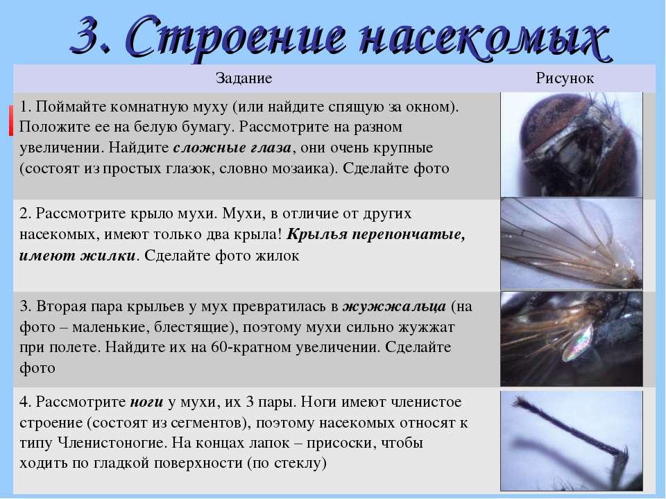 3. Строение насекомых Задание Рисунок 1. Поймайте комнатную муху (или найдите...