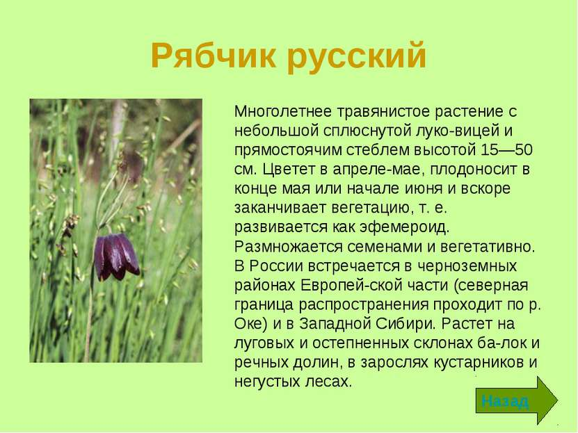 Рябчик русский Назад Многолетнее травянистое растение с небольшой сплюснутой ...